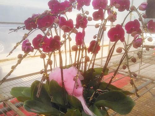 蝴蝶蘭年花