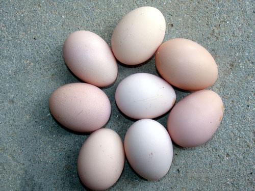 东莞土鸡蛋批发