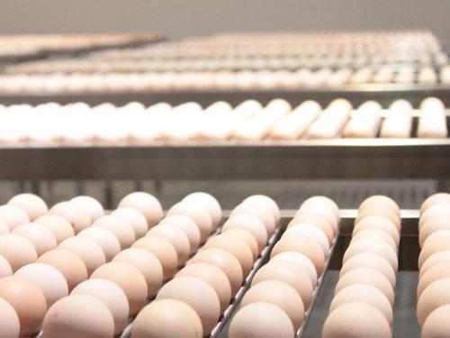 东莞鲜鸡蛋批发商