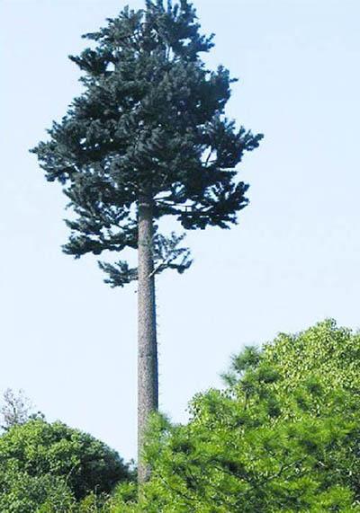 30米美化樹