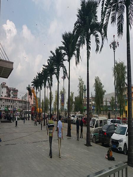 9.5米细杆大王椰子树