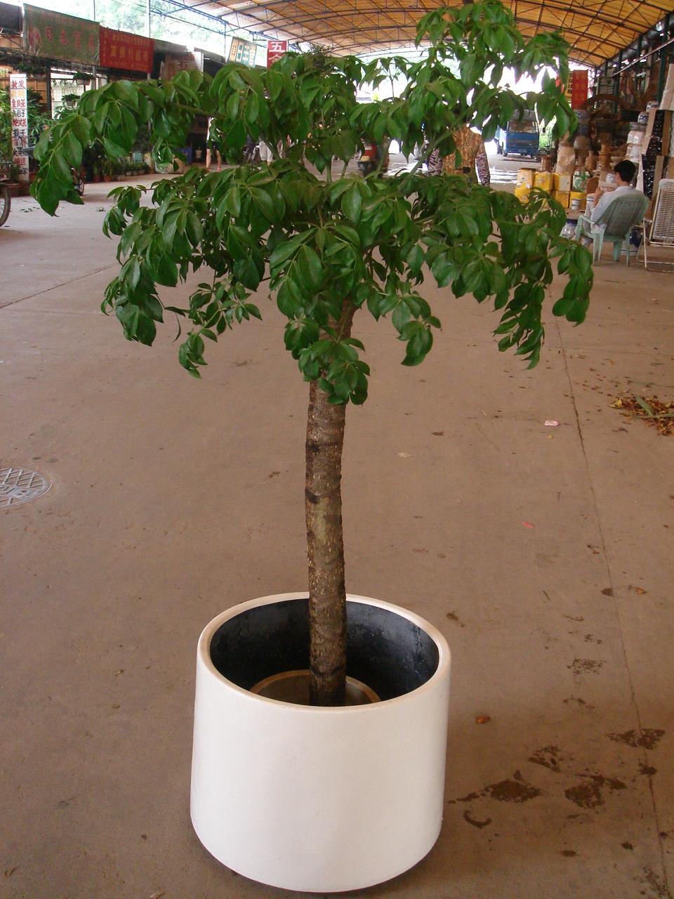 富贵树(幌伞枫)