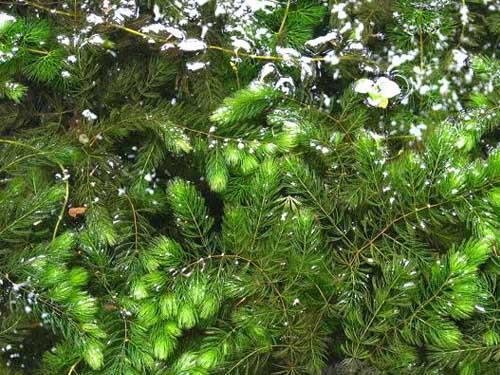 金鱼藻种植