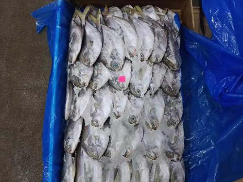 南美银鲳鱼