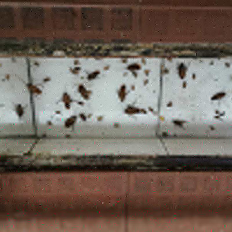 石排蟑螂防治收费标准_百辉有害生物防治_建筑工地_街道_办公室