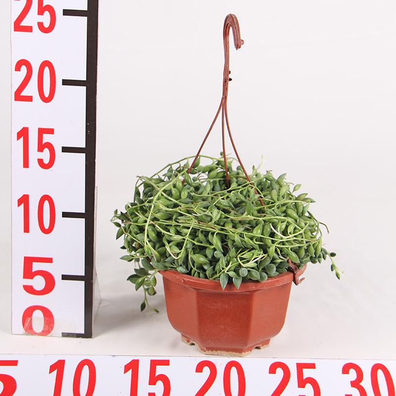 杭州室内吊盆盆栽_红林园艺_产品品质好_产品服务极其好