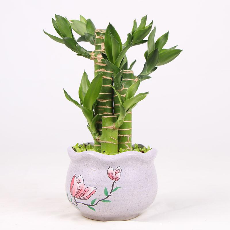 綠植_臥室竹子類盆栽怎么挑_紅林園藝