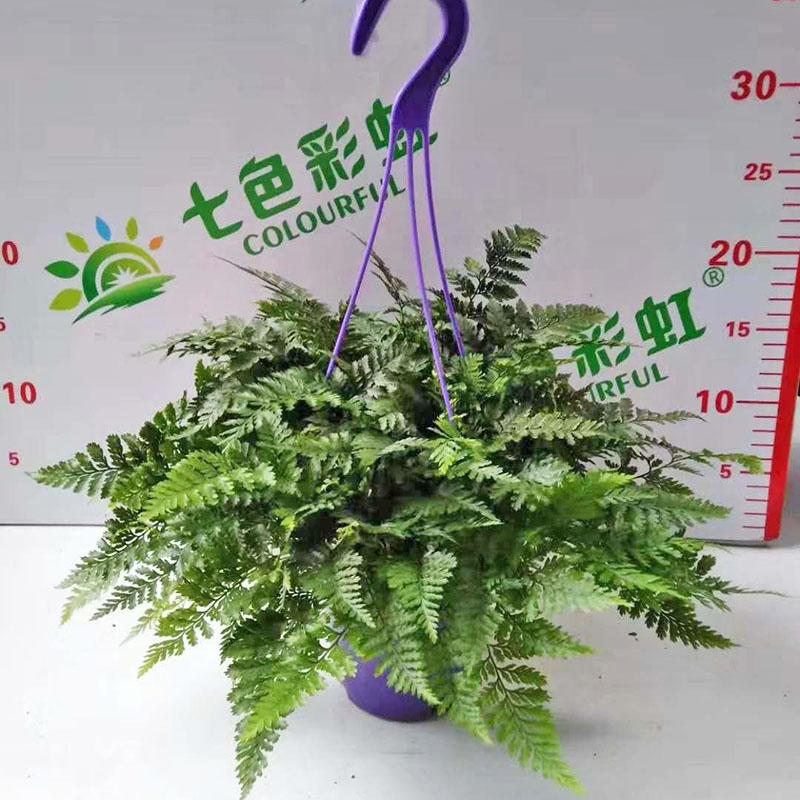 耐潮蕨類盆栽作用_紅林園藝_客廳_耐陰_辦公室_裝飾_防輻射