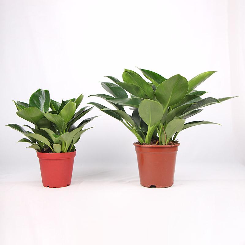桌面_綠鉆金鉆盆栽有多少種_紅林園藝