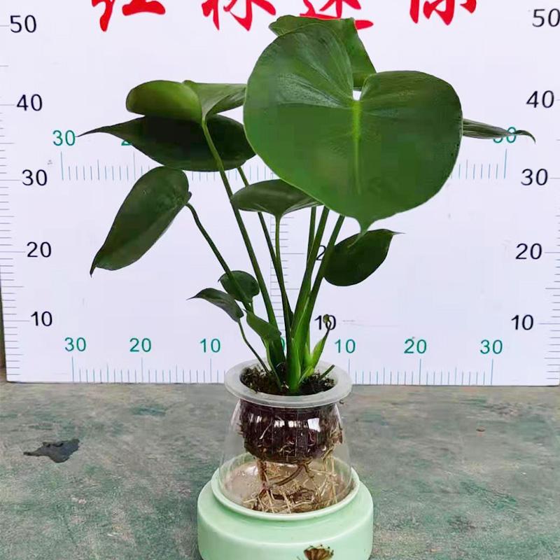 水培龟背竹-小直盆栽