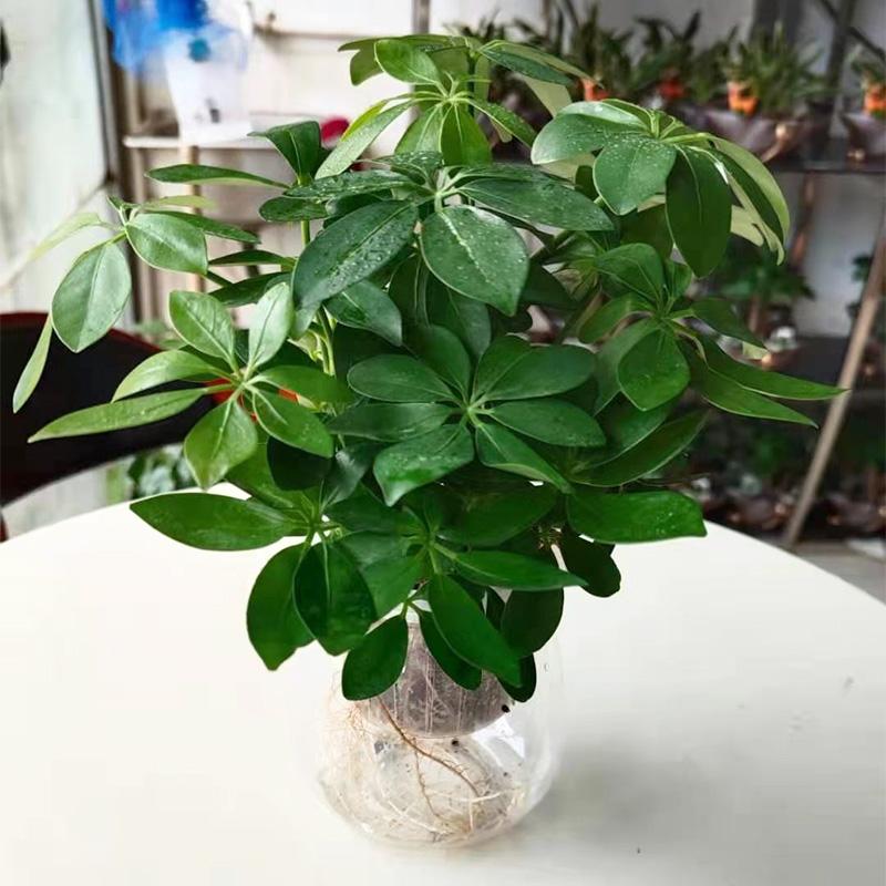水培鸭脚木盆栽