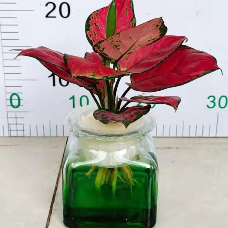 水培红如意盆栽
