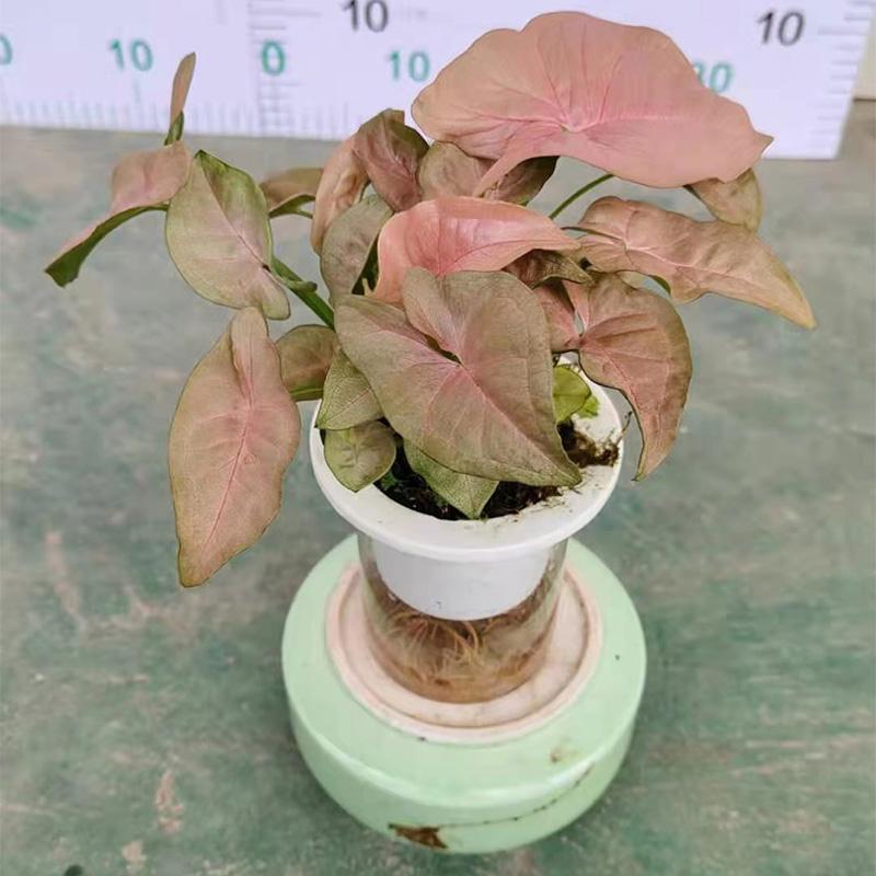 水培粉红佳人盆栽