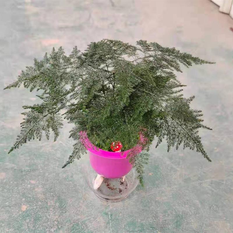 水培文竹盆栽