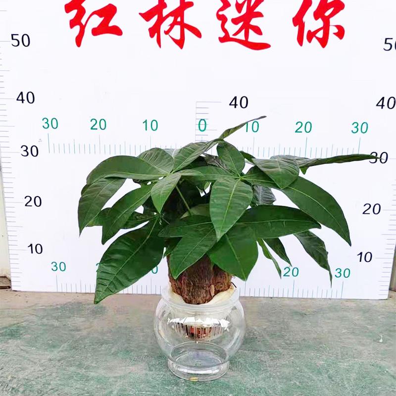 水培发财树盆栽