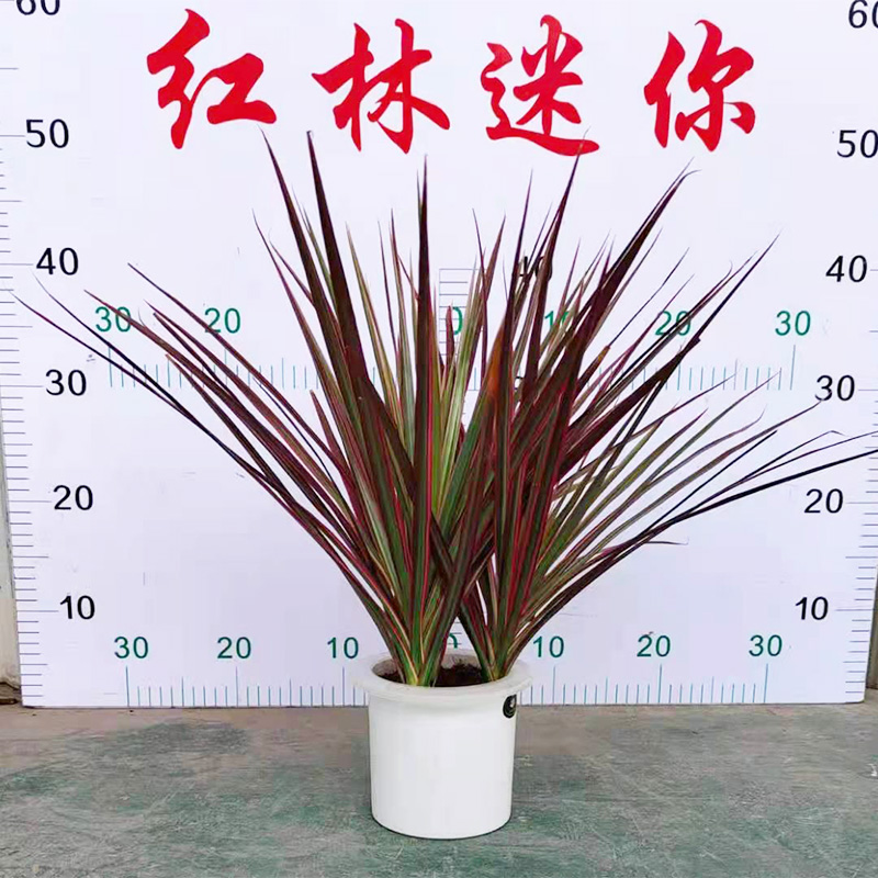 水培七彩铁盆栽
