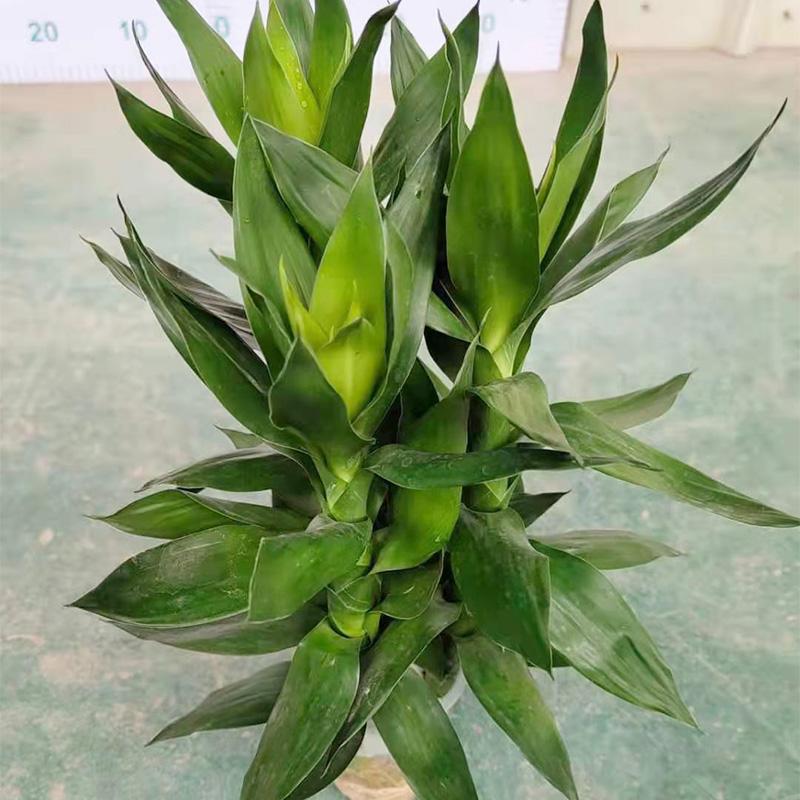水培莲花竹盆栽