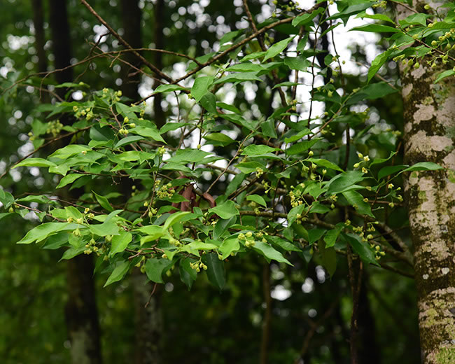莞香树种植
