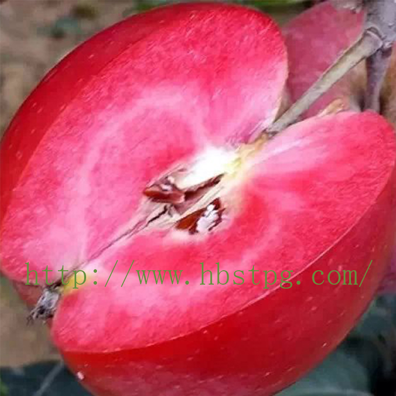 寒富果树苗|红肉苹果批发|家家苗木供