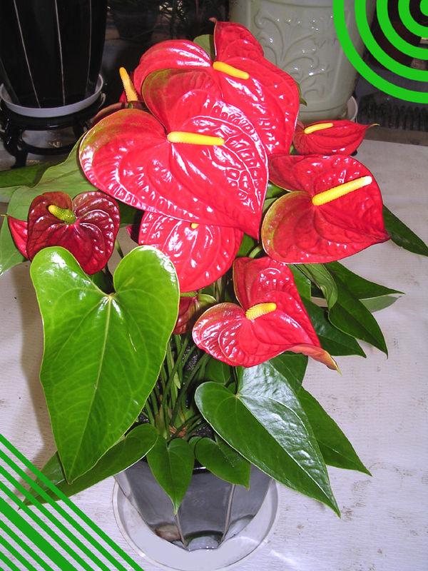 合肥植物租憑|合肥花卉租擺|合肥租植物|合肥綠植出租