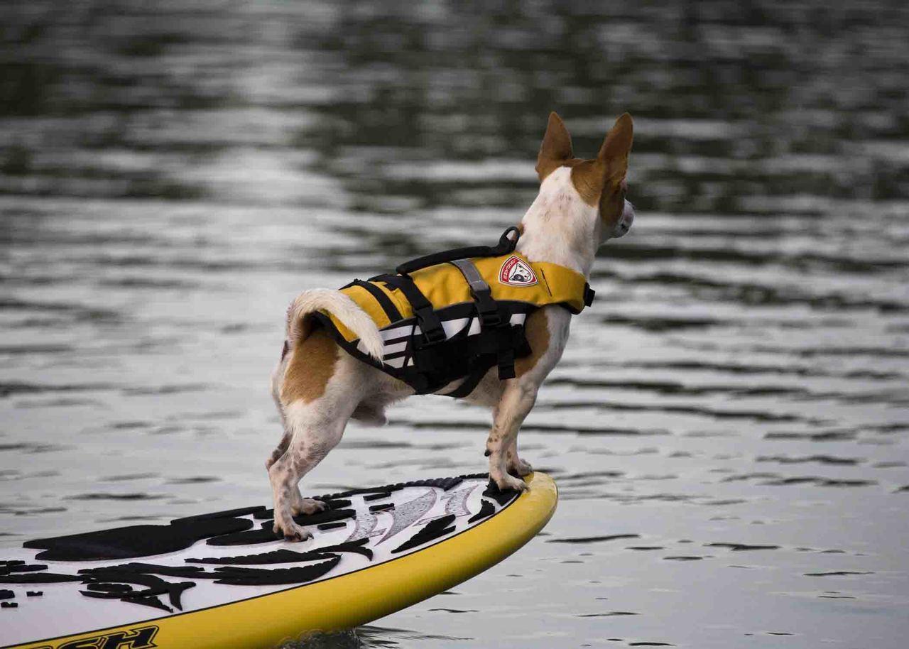 狗狗黄色救生衣