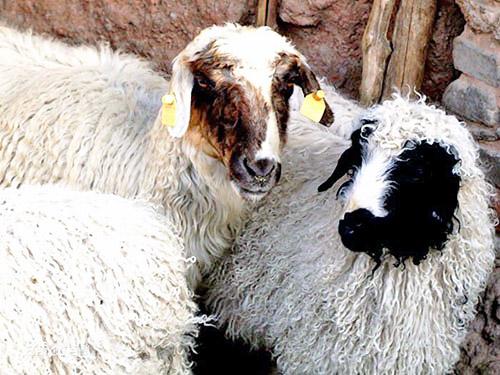 盐池滩羊实景