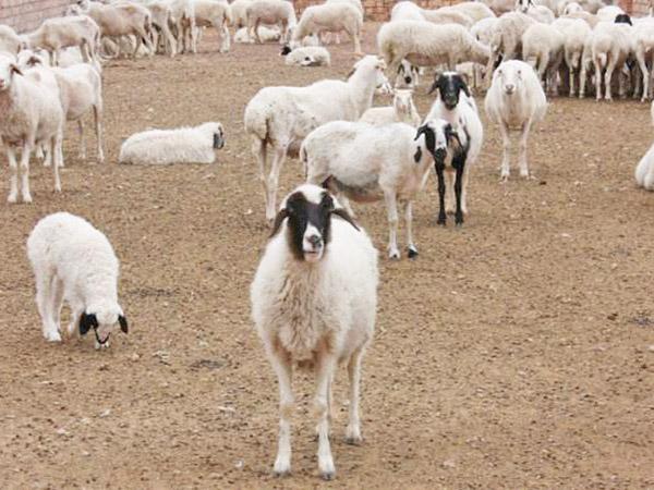 西夏羔羊实景