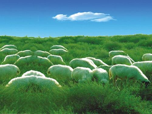 草原羊牧羊实景