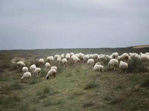 宁夏牧羊实景