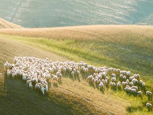 盐池牧羊实景