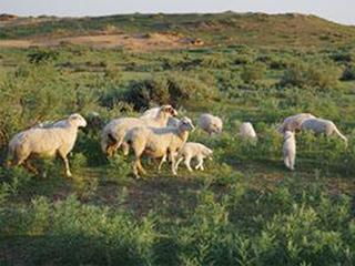 土羊放牧实景