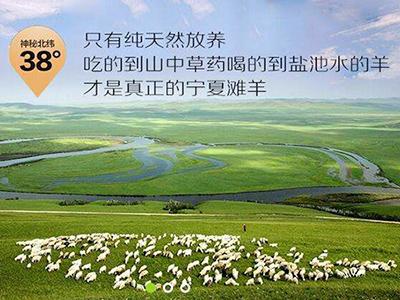 西夏羊牧羊实景