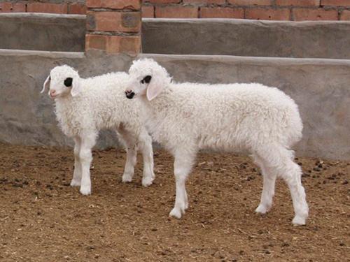 羔羊放牧实景