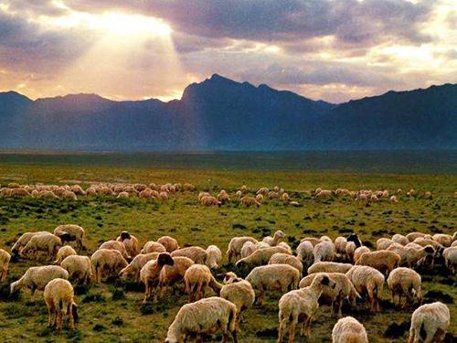 西夏牧羊实景