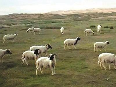 宁夏土羊放牧实景