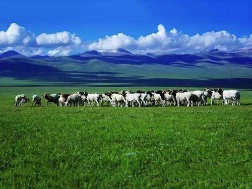 滩羊养殖实景