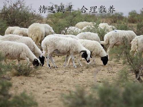 西夏羊放牧实景
