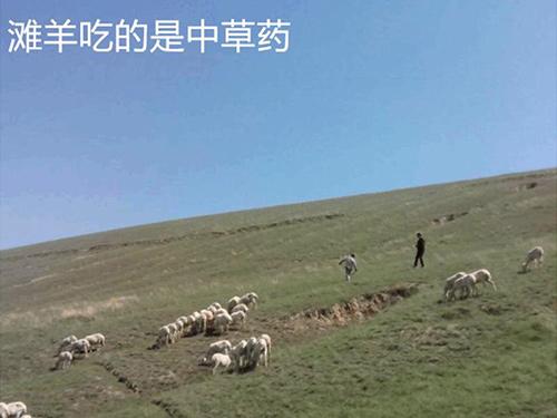 草原羊放牧实景