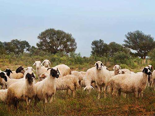 滩羊牧羊实景