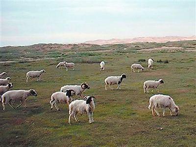 土羊牧羊实景