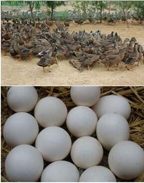 唐桐蛋 鴨蛋 唐河特產 南陽特產 禮盒裝30枚 鮮蛋98元